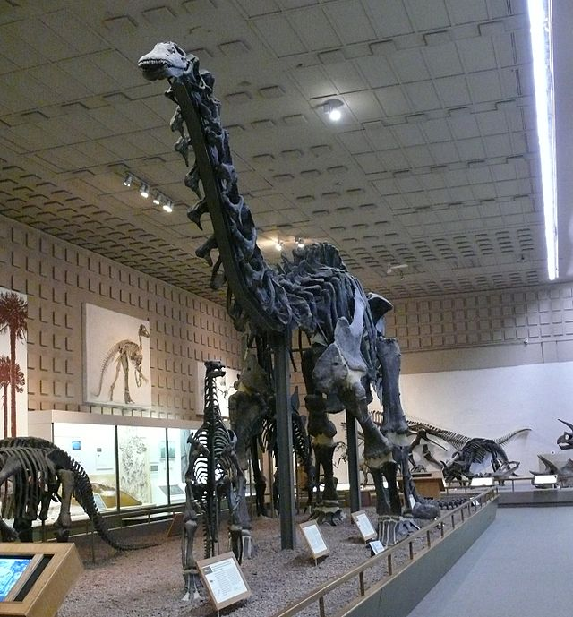 """Apatosaurus Yale Peabody"" by Ad Meskens - Own work. Licensed under CC BY-SA 3.0 via  Wikimedia Commons"
