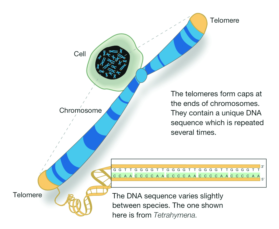 Location of telomeres on the ends of eukaryotic DNA. Image from HudsonAlpha Institute of Biotechnology.
