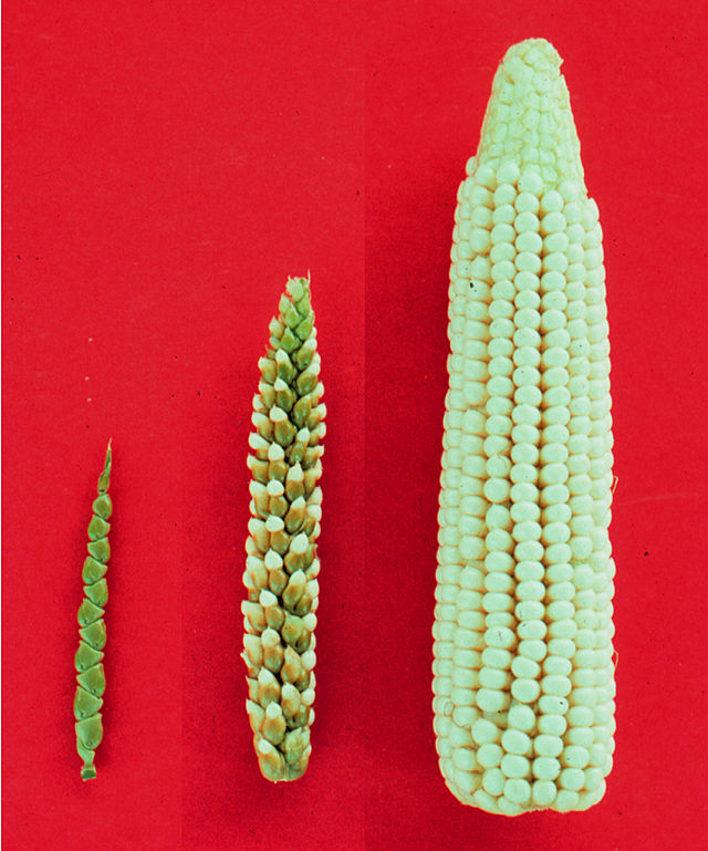 Teosintes (left) are believed to be the natural form of modern corn (right) partly because the two can readily breed together (center). Image credit: John Doebley via Wikimedia Commons.