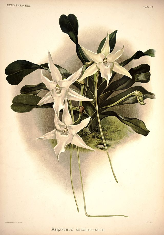 One of the best examples of a hidden nectary is the orchid Angraecum sesquipedale, whose nectar is at the end of a twelve-inch-long tube, well out of reach of all insects except for a certain species of moth that has the tongue to match. The orchid-moth pair is famous in the history of evolutionary thought: Charles Darwin, on the basis of the orchid's bizarre nectary, predicted the moth's existence long before it was discovered. Image source: Wikimedia Commons.