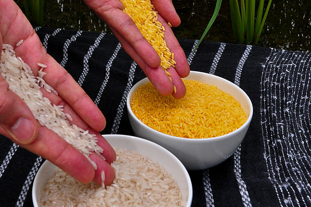 Golden Rice (left) grain compared to white rice grain (right). Image courtesy of   International Rice Research Institute (IRRI) via Wikimedia commons.