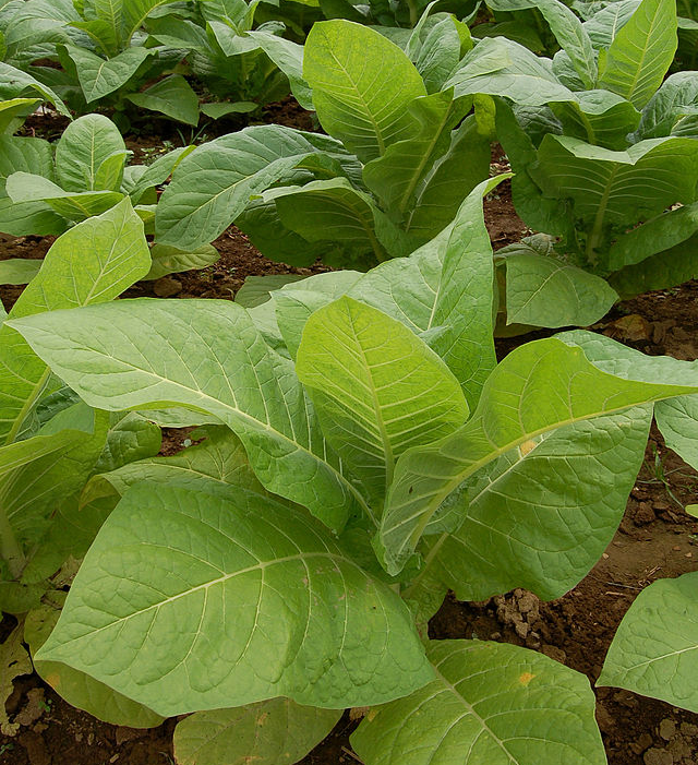 Tobacco plants growing in a field. Photo by and (c)2006 Derek Ramsey via Wikimedia Commons.