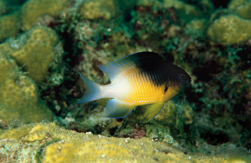 A damselfish protecting its garden (in the background) from a nosy diver.  Photo source .