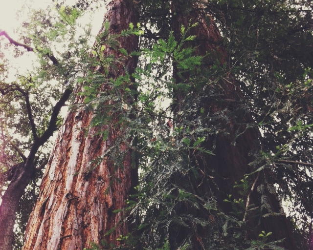 redwood01.JPG