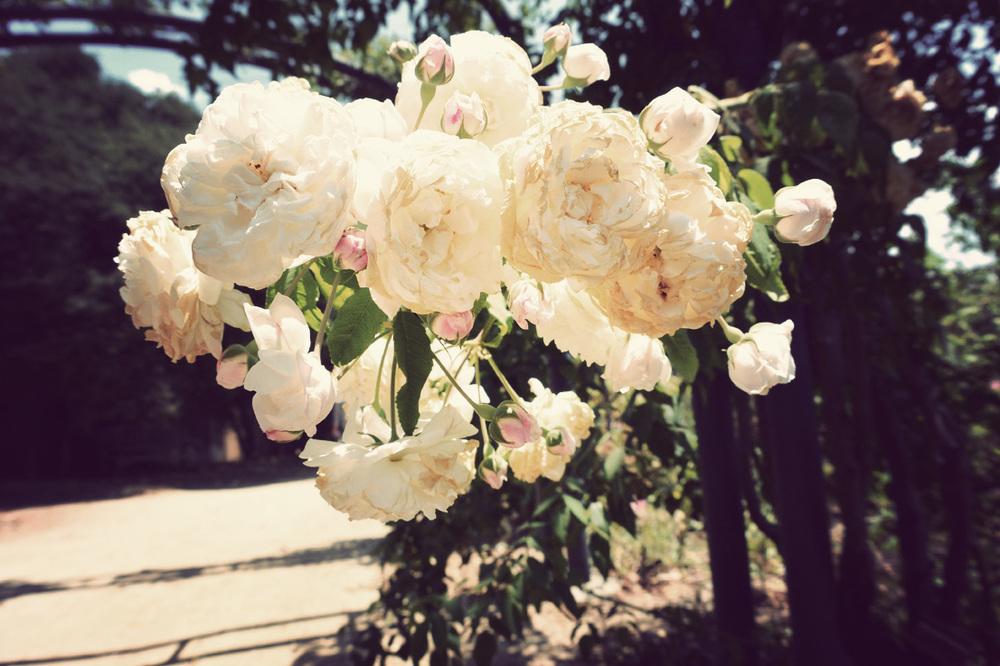 roseblanc.jpg