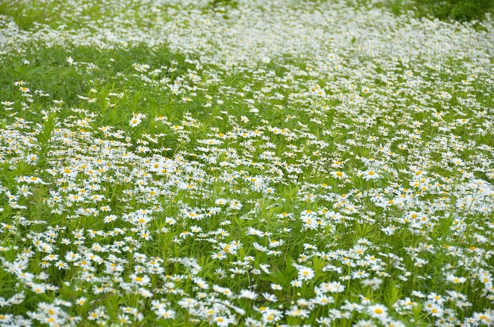 fieldofdaisiesemail.jpg