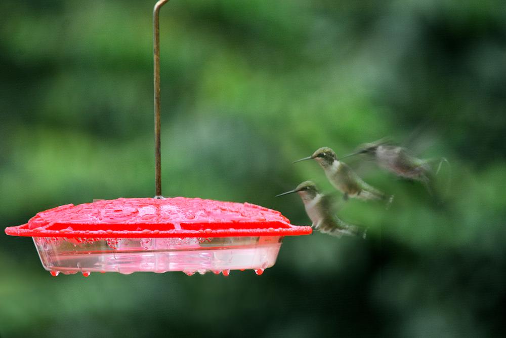 Hummingbird Arrives