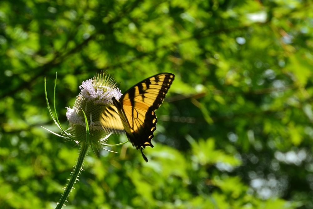 Canadian Swallowtail