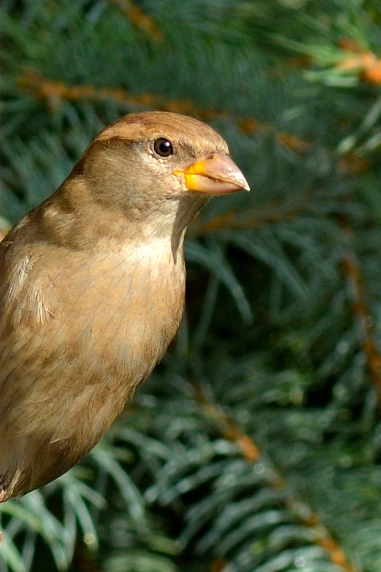 Female Sparrow at the Feeder