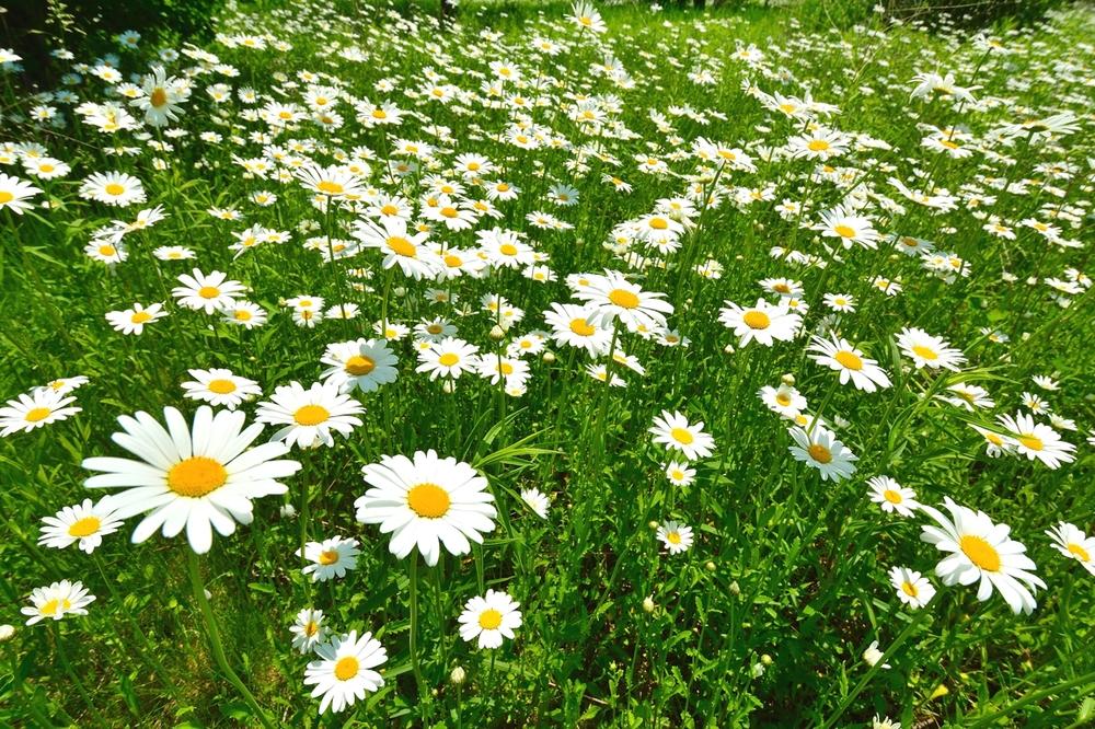 daisydaisy1email.jpg