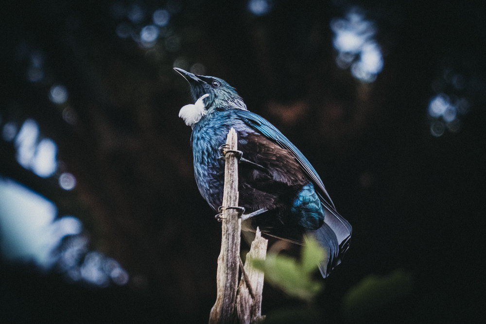 Day Six: Nick succeeds in his mission to photograph the Tui bird, photo @nickforge.