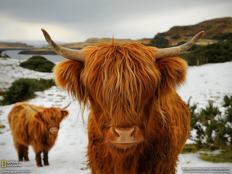 Ginger Cows