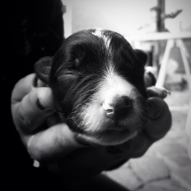 Okay, so this puppy along with 6 others appeared a day ago. My dog Molly, was pregnant and we literally had no idea :) still in shock but cute as hell! (Taken with  Instagram )