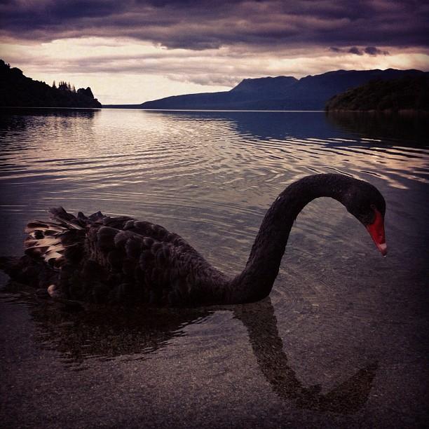 Black Swan on Lake Tarawera | Maori Territory  (Taken with  Instagram  at Tarawera Scenic Reserve)