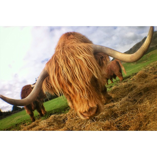 This is a Highlander Bull | And he has cool hair (Taken with Instagram at ZORB Rotorua)