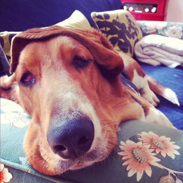 Baxter's Ear Hat cc @tyrone_bradley  (Taken with  instagram )