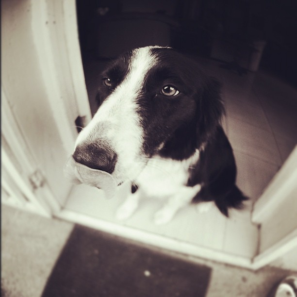 Molly and her tongue #bordercollie photo by #JacquiVanStaden (Taken with  instagram )