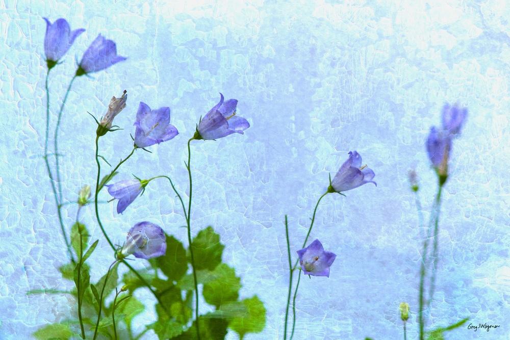 Campanula Bavaria Blue.jpg
