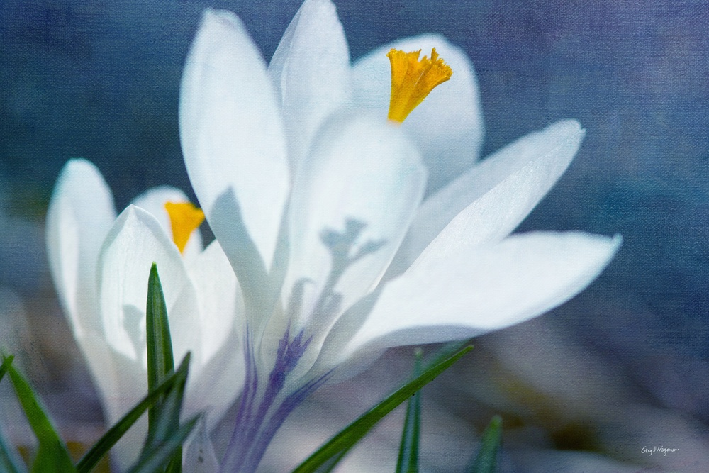 Crocus in Blue