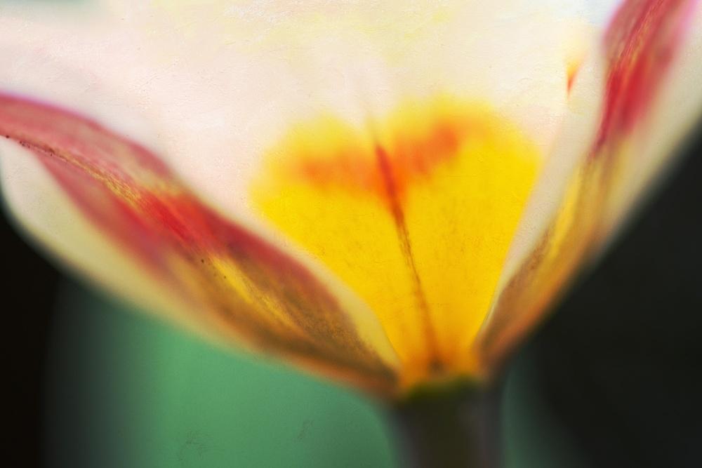 Glowing Tulip • Wall Art