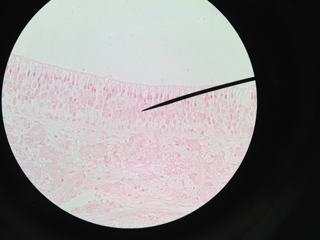 Olfactory Epithelium 400X