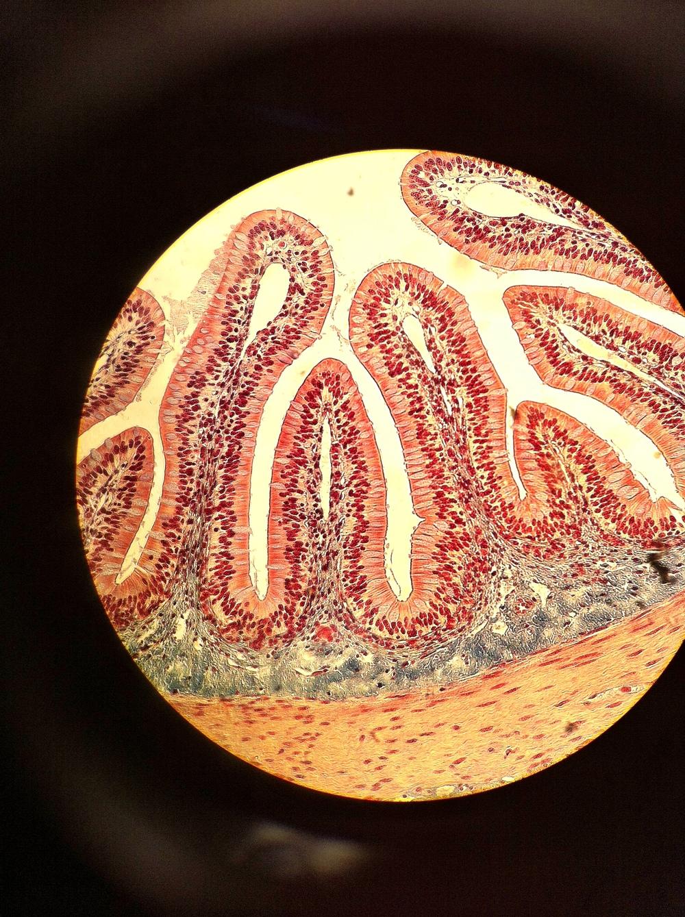 Goblet Cells, Total Mag: 100X