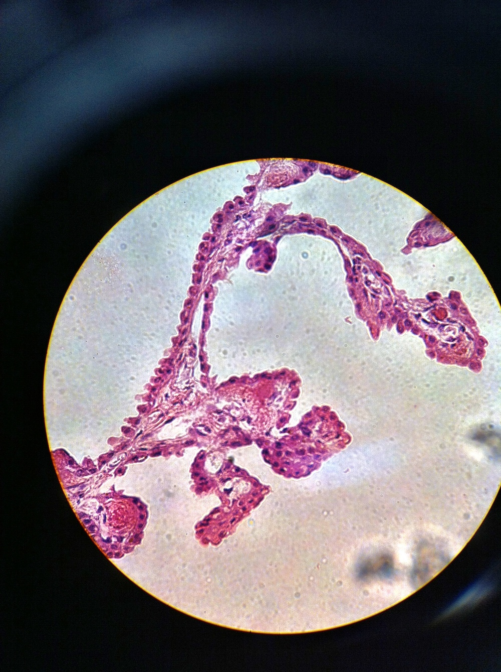 Ependymal Cells 400X