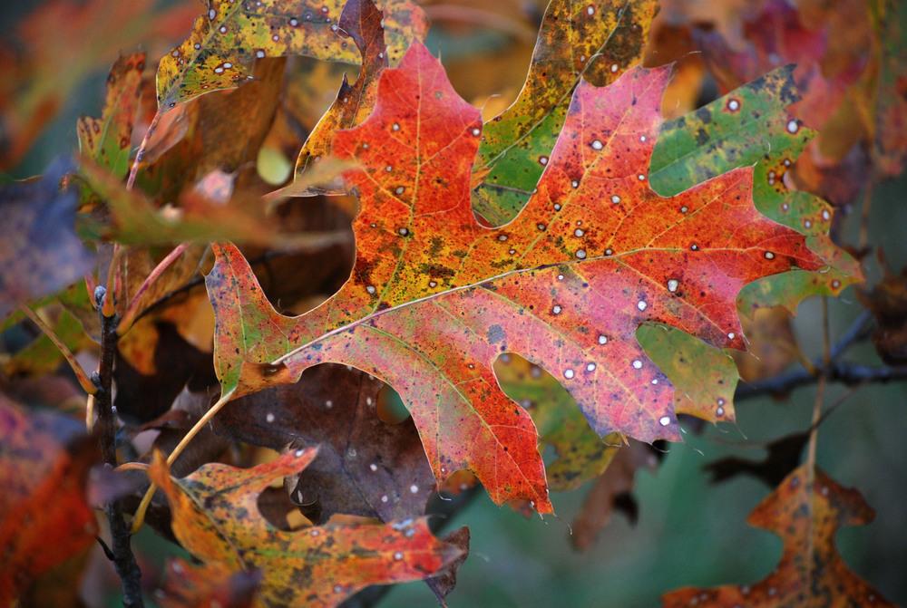 Black Oak Leaf8x12.jpg