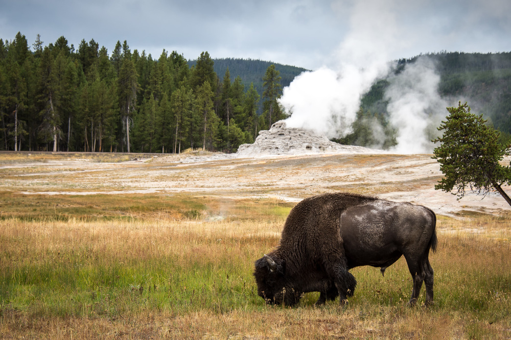 Bison at Old Faithful area, Yellowstone NP