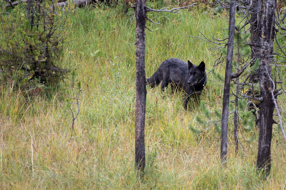 Black Wolf, Yellowstone NP