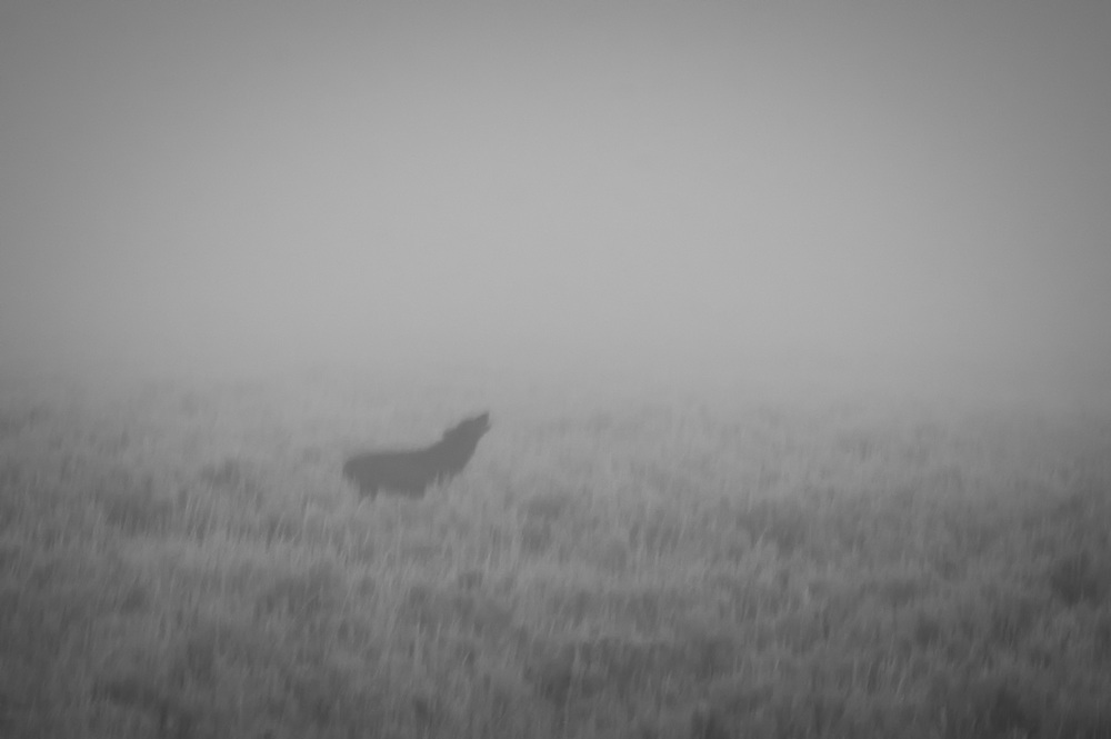Wolf calling in the fog, Yellowstone NP