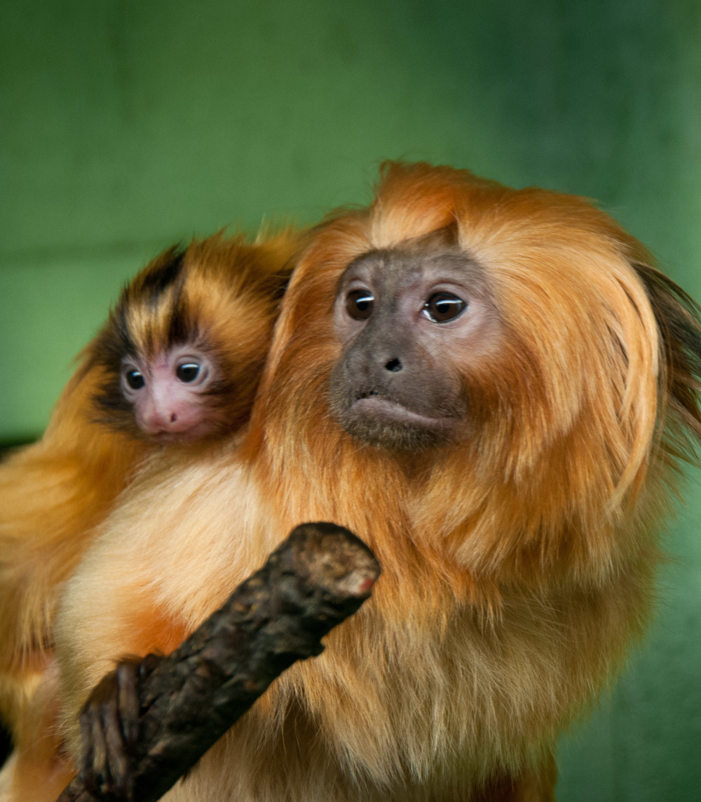 Golden Lion Tamarin, Dad & Baby
