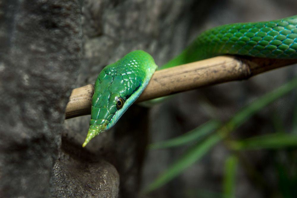 Vietnamese Long-nosed snake
