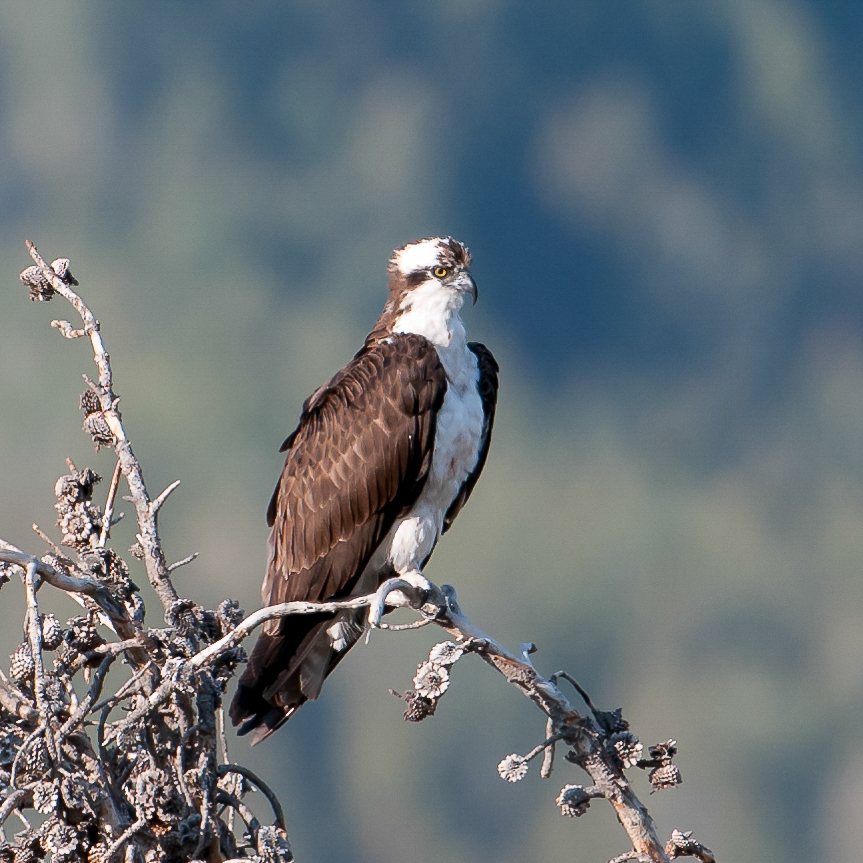 Osprey in Yellowstone