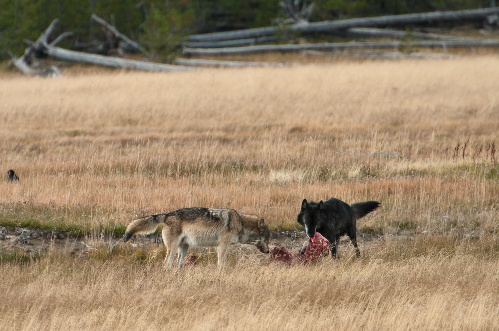 Wolves on an elk kill