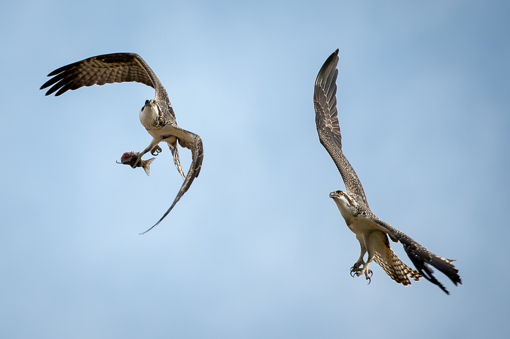 Osprey With a Catch!