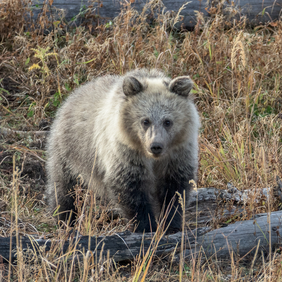 Baby Grizzly looking at me