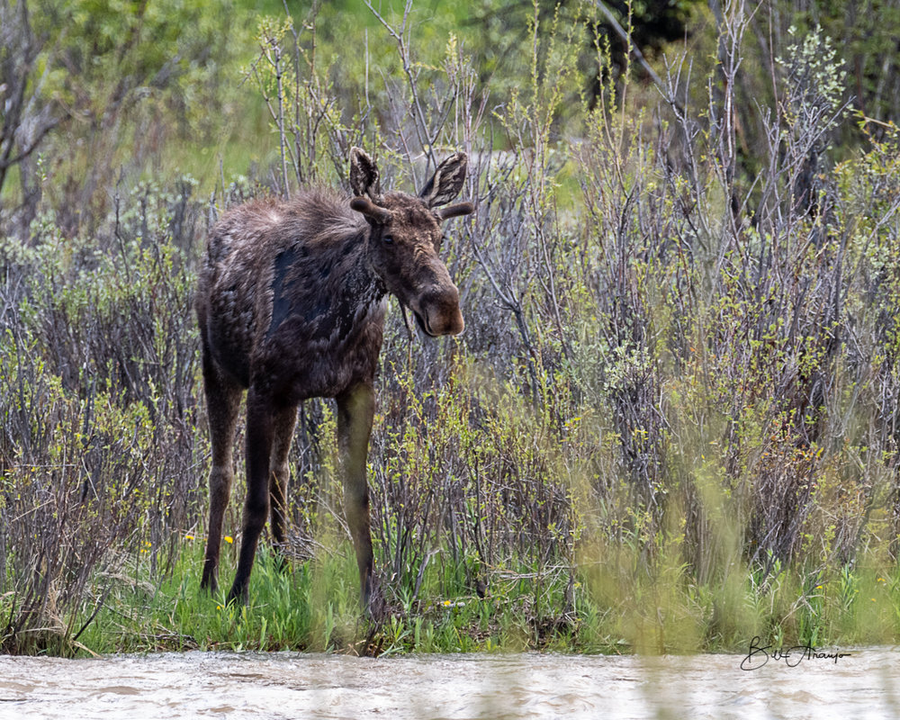 Harsh winter for moose too