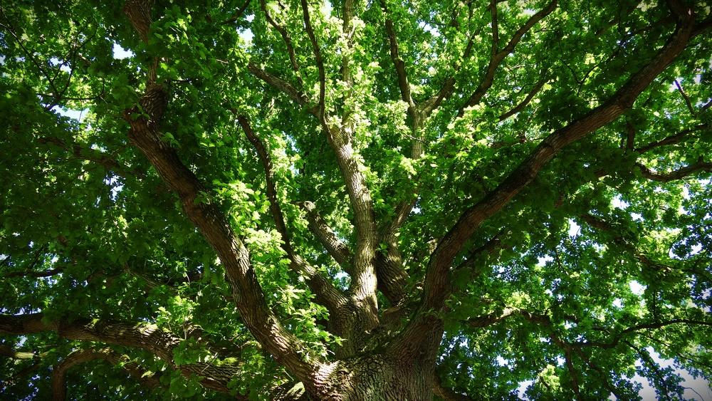 08 Oaktree.JPG