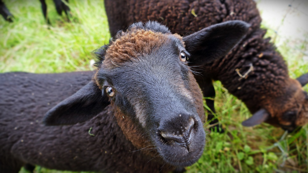 11 Sheep.JPG