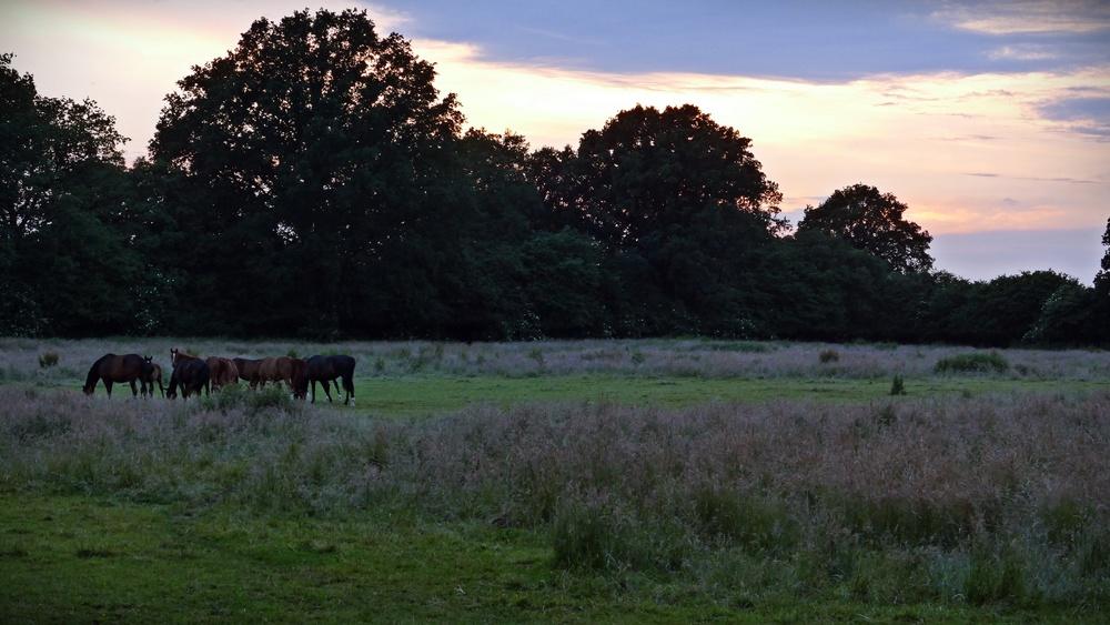 Holstein Horses.JPG