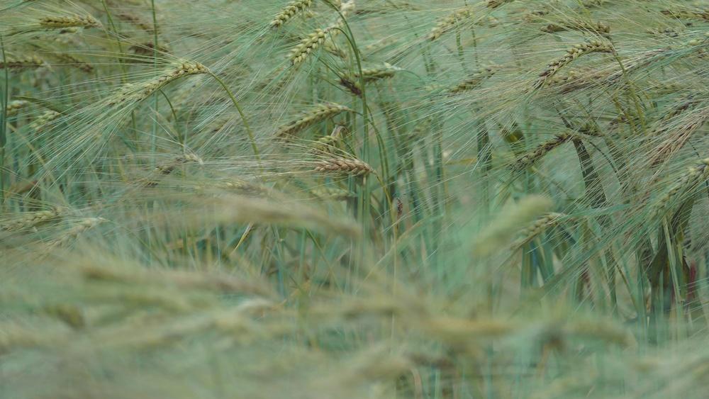 06 Barley.JPG