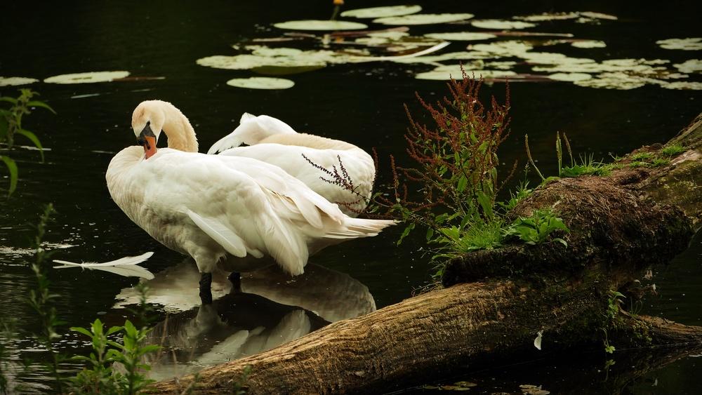 12 Swans.JPG