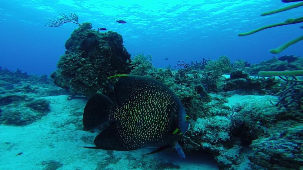 Angelfish swim-by