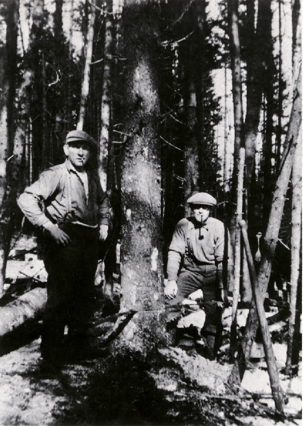Photo of George & Meredith Bogle using a two man cross cut saw to harvest a spruce tree. Alma, New Brunswick, Canada  1915