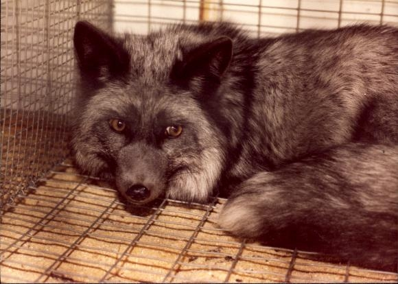 Silver Foxes were once in great demand because of the unique silver markings on the pelt of the fox.   1970   Salisbury, Westmorland County, Canada
