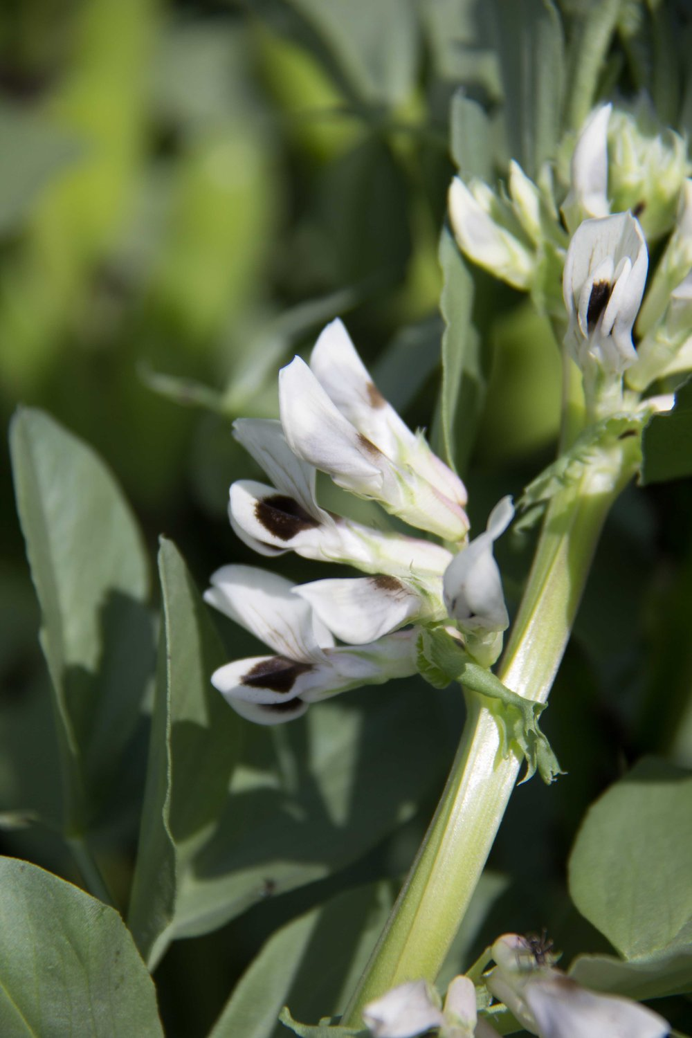 Fava bean (Lac-St-Jean) in flower