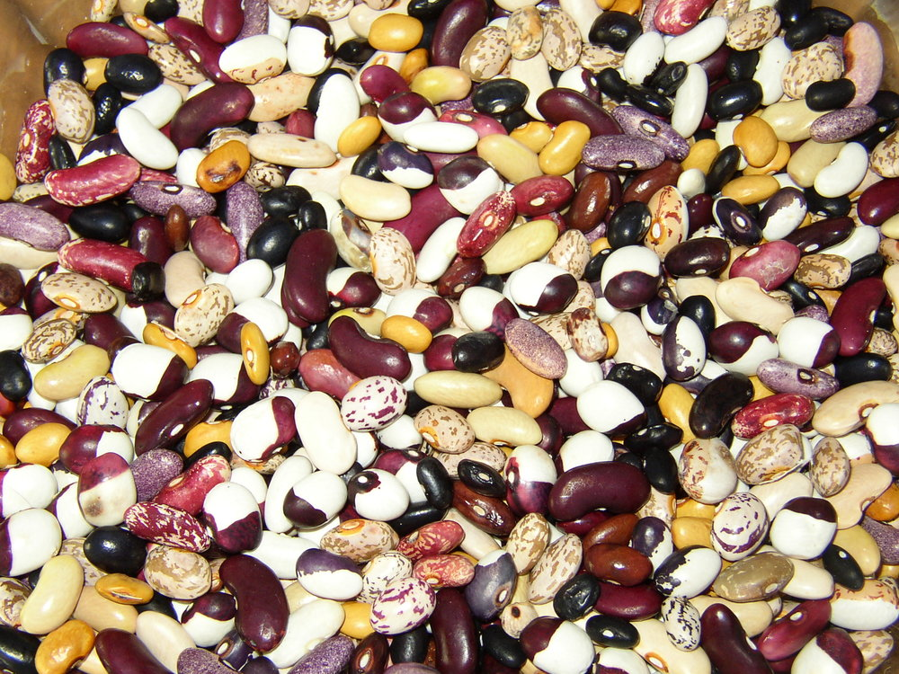Beans of many colours. (Phaseolus vulgaris)