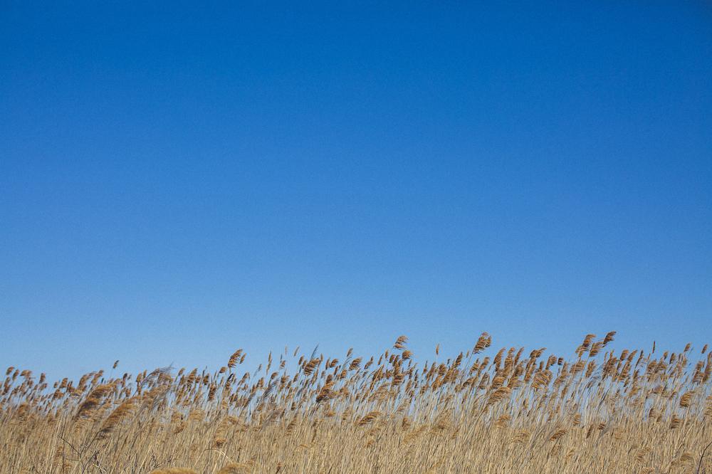Tall Beach Grass