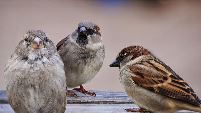 sparrows-2763083_640.jpg